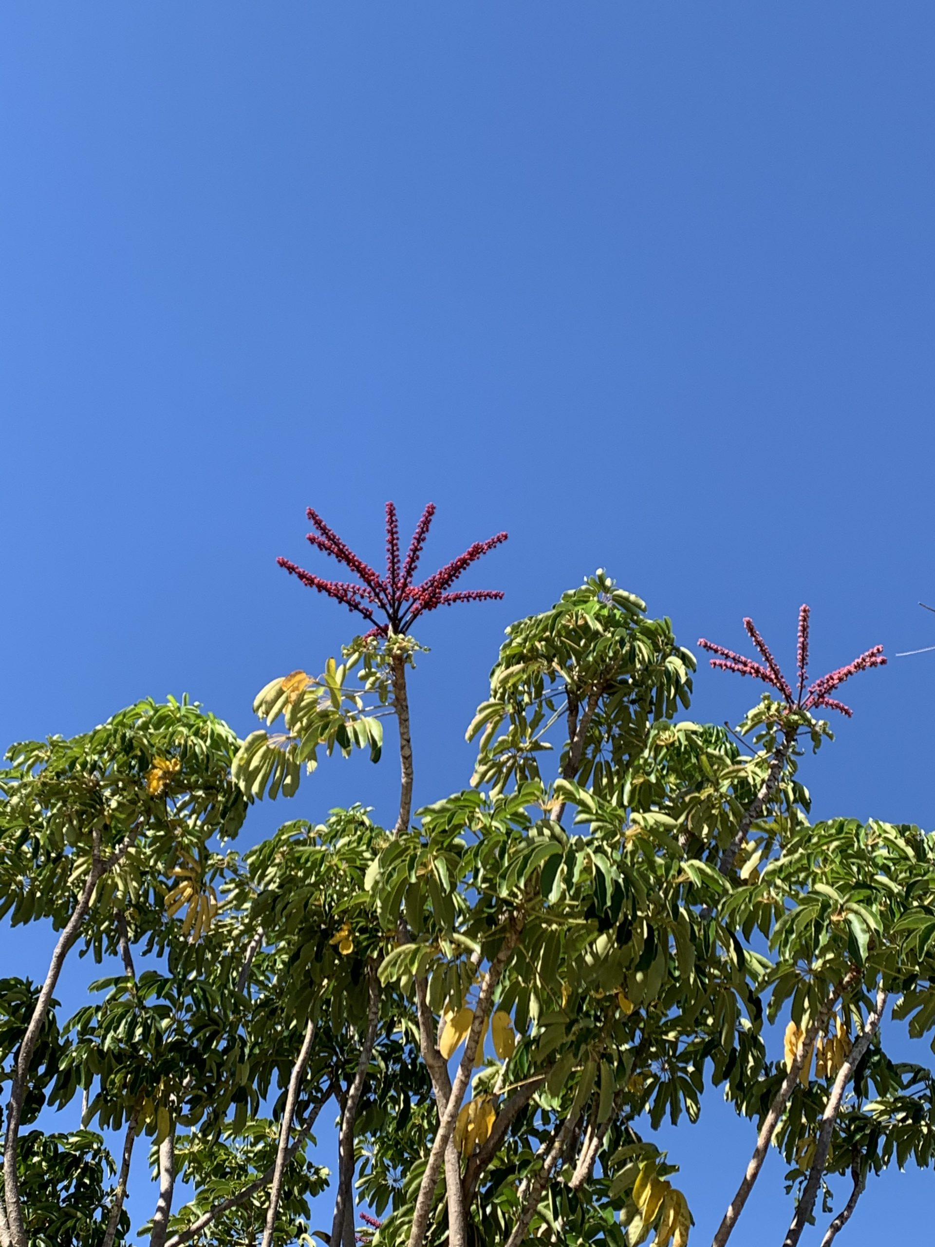Australian plant